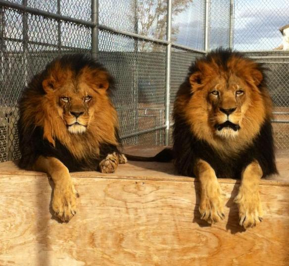 Brother Lions