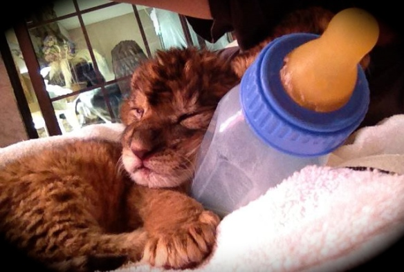 Lion Habitat cub & bottle