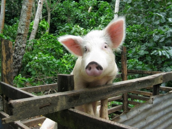 Village pigs